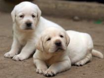 Catei Labrador Retriever, alb, galben, negru sau ciocolata
