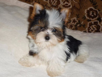 Yorkshire terrier Biewer