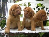 Caini Dog de Bordeaux Bucuresti,Oradea,Brasov,Iasi,Ct