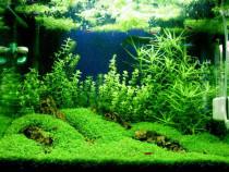 Gazon acvariu, Flame Moss/ Creveti acvariu