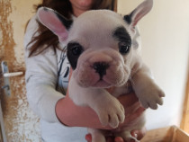 Bulldog francez mascul alb negru!!