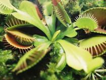Flori carnivore seminte,dioneea,nephentes,flytrap