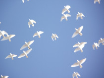 Porumbei albi pentru nunti Satu Mare