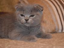 Scottish Fold și British Shorthair pisicuțe spectaculoase!