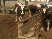 Vitei, junci, vaci, tauri