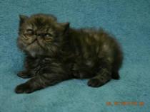 Pisicute persane cu certif8cat pedigree tip A