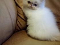 Pisici persane pisoi persan pisica persana cadou craciun