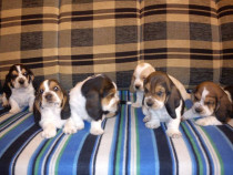 Basset hound tricolor si bicolor!!