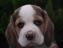 Femele si masculi beagle!!