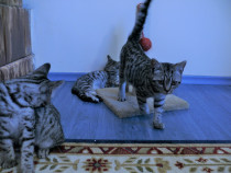 Pui British Short Hair Silver Tabby