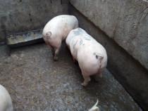 Porci de carne greutate 140/170kg