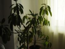 Ficusi plante ornamentale.