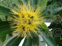 Seminte Xanthostemon chrysanthus Golden Penda Golden Myrtle