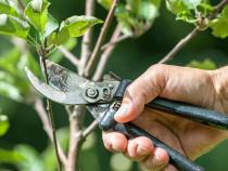 Curățare pomi arbuști copaci trandafiri viță de vie