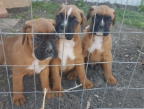 Pui de boxer german