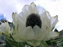 Sausurea,nufar floare uriasa