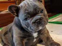 Pui bulldog buldog francez albastru gri blue
