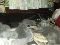 Pisici british shorthair blue