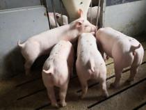 Porc, porci, purcei, soldani, scroafe, scrofite, vieri!