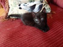 Cadou pisicut negru cu ochi albastri