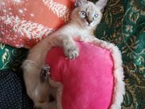 Pui de pisica birmaneza