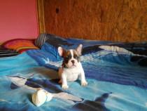 Bulldog francez mascul