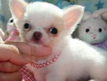 Jucărie Chihuahua