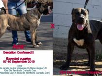 Pui Dogo Presa Canario Giurgiu cu pedigree Canisa FCI