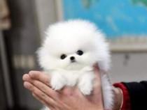 Pomeranian Rar mini alb imaculat talie 1500 grame Poze Reale