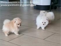 Pui de Pomeranian-spitz pitic
