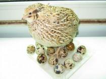 Furaje si premixuri pentru hrana prepelitelor