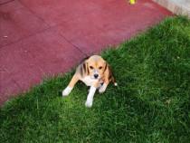 Catei Puiut Beagle, 3 luni
