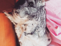 Chinchilla chinchila sinsila