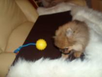 Pomeranian cu acte