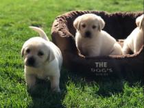 Labrador cățeluși rasa pura