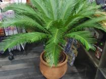 Palmieri mari cycas