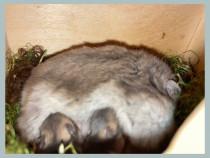 Hamsteri pitici siberieni pui