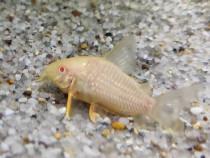 Corydoars, cory sterbai albino, crismas moss