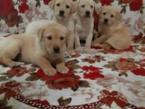 Labrador retriever poze reale