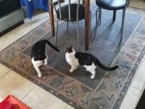 Donam 2 pisicute sterilizate,suntem din Cumpana,jud.C-ta.