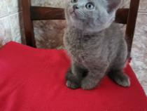 Pisoi scotish shorthair