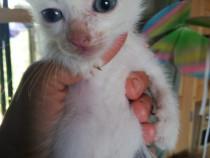 Fainicii pui pisica adoptie