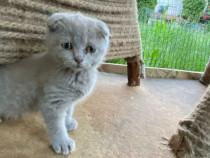 Pisici Scottis Fold