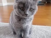 Pui pisica British Shorthair