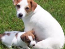 Pui jack russell /rusel/russel terrier