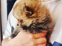 Pomeranian boo autentic
