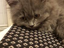 3 pui de pisica British Shorthair