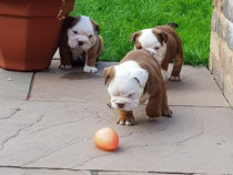 Puii Bulldog Englez Disponibili.