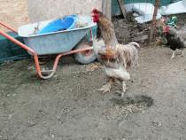 Familie brahma 2 găini 1 cocoș
