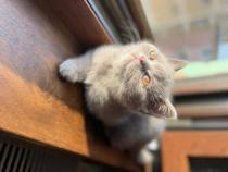 Pisicuțe British/Scottish Fold Shorthair
